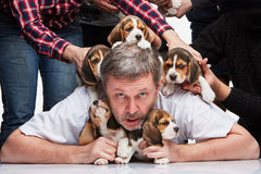 The man and big group of a beagle puppies Royalty Free Stock Photos
