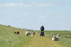 Man with bike on Dutch dike with sheep Stock Image