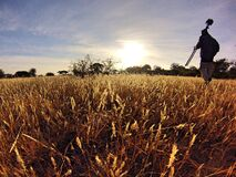 Man in Black Long Sleeve Shirt Holding Camera Tripod Walking on Wheat Fields at Daytime royalty free stock photography