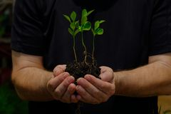 Three young new orange seedling. A man with black t-shirt holding three young orange seedling with some soil. roots are visible royalty free stock photography