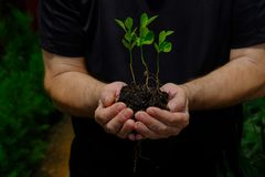 Three young new orange seedling. A man with black t-shirt holding three young orange seedling with some soil. roots are visible stock photos