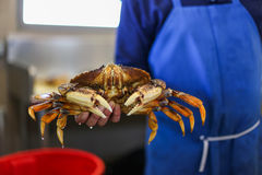 Man in blue apron holding big, living crab Royalty Free Stock Photography
