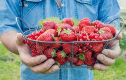 A man in blue denim shirt holding in his hand a metal basket with strawberries on a Sunny day . Stock Image