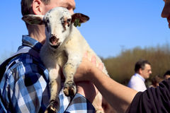Man in blue shirt holding new born lamb Royalty Free Stock Images