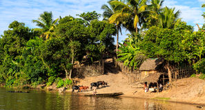 Man in a boat driving his cattle through the river to a village Stock Photo