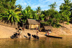 Man in a boat driving his cattle through the river to a village Royalty Free Stock Photos