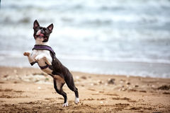 Man with Boston Terrier Royalty Free Stock Photos