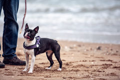 Man with Boston Terrier royalty free stock photography