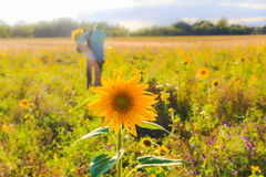Man bouquet sunflowers field summer day Royalty Free Stock Images