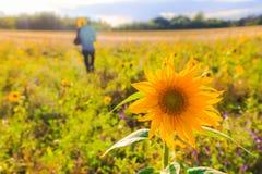 Man bouquet sunflowers field summer day Stock Photography