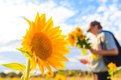 Man bouquet sunflowers field summer day Royalty Free Stock Image