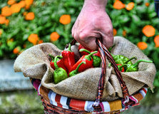 Man bringing a basket of red Stock Photo