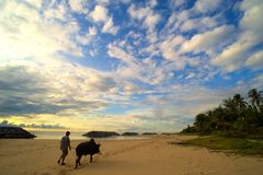 Man brought oxen walking on the beach Royalty Free Stock Images