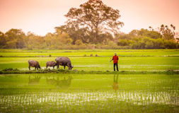 A man and buffalo in rice paddy in ninh binh,vietnam 2 Stock Photography