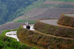 Man and buffalo working on rice terrace Royalty Free Stock Photography