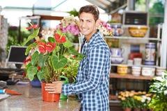 Man buying flamingo flower in nursery shop. Smiling man buying a flamingo flower in a pot in a nursery shop royalty free stock photos