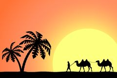 Man on the camel in palm trees at sunset. Royalty Free Stock Images