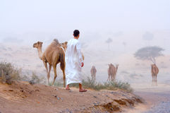 Man and camels Stock Image