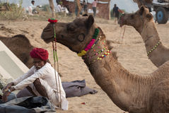 The man and the camels. Camel trader of Pushkar, Rajasthan, India wearing turban is gazing at his camels on the fair ground Royalty Free Stock Photos