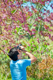A man with camera in the Wild Himalayan Cherry Stock Photos