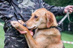 A man in a camouflage uniform with a dog. A man holds a dog`s paw in his hand_ royalty free stock image