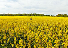 Man in canola field. Royalty Free Stock Photos