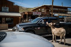 Man in the car feeding wild burros in the city of Oatman on Route 66 in Arizona. Oatman is a town in the Black Mountains of Mohave County, Arizona, United States royalty free stock images