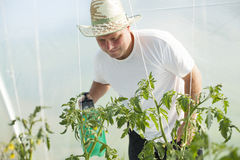 Man care about tomatos plants in greenhouse Stock Photos