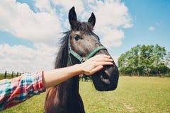 Man caress horse Stock Photography