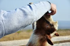 Man caressing a billy goat head. Man hand caressing a billy goat head royalty free stock photo