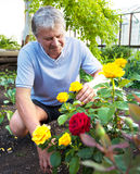 Man caring for roses in the garden Royalty Free Stock Images