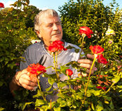 Man caring for roses in the garden Stock Photos