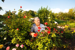 Man caring for roses in the garden Stock Photo