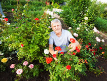 Man caring for roses in the garden Stock Image