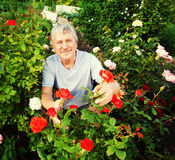 Man caring for roses in the garden Royalty Free Stock Photos