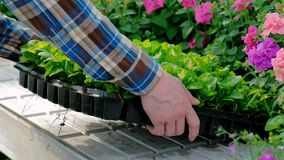 A man carries boxes of green plants and flowers. Flower shop, wholesale of plants. Industrial cultivation of plants. A man carries boxes of green plants and stock video footage