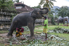 A man carries his child under an elephant within the Temple of the Sacred Tooth Relic complex in Kandy, Sri Lanka. Royalty Free Stock Photography