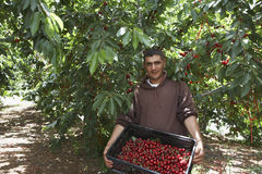 Man Carrying Basket Full Of Freshly Harvested Cherries Royalty Free Stock Images