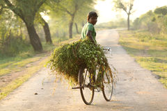 A man carrying grass on bicycle Stock Image