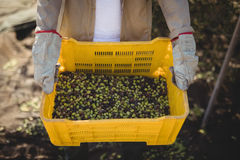 Man carrying olives in crate at farm Stock Image
