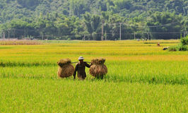 A man carrying rice on terraced rice field in Mu Cang Chai, northern Vietnam Stock Photography
