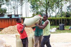 Man carrying sack of maize. A man carries a heavy sack of maize to a storage facility after drying it outdoors in rural Africa Royalty Free Stock Photos