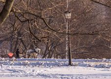 Man in the cart with white horse in winter park. Winter landscapes in Russia. Royalty Free Stock Photo