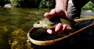 Man catching brown trout in fishing net stock video