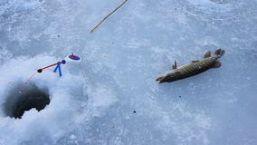 Man caught the pike on the ice. man holds the pike in his hands winter fishing. Fish pike. Trophy of ice fishing. Fish on snow stock video footage