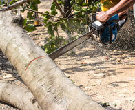 Man with chainsaw cutting  tree Royalty Free Stock Image