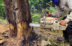 Man with chainsaw cutting the tree Royalty Free Stock Photos