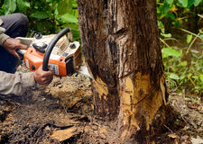 Man with chainsaw cutting the tree. Man with chainsaw cutting big tree royalty free stock photos