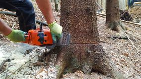 Man with chainsaw. Cuts tree in the forest Stock Image