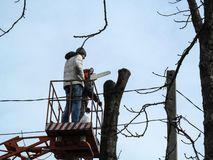 A man with a chainsaw stands on an aerial platform near a cut tree against a blue sky. The concept of spring-autumn-winter. Rejuvenation of old tall trees stock image
